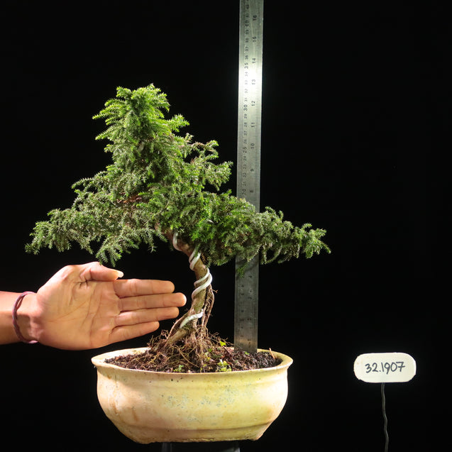 Bonsai Juniperus Rigida 32.1907 - kebunbibit