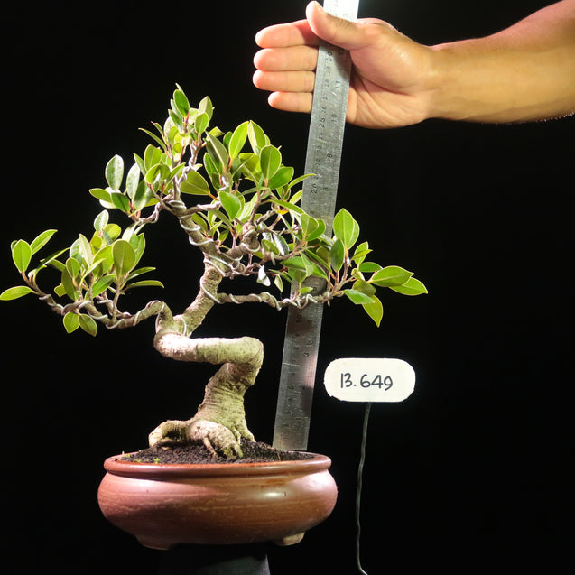 Bonsai Ficus Microcarpa 13.649