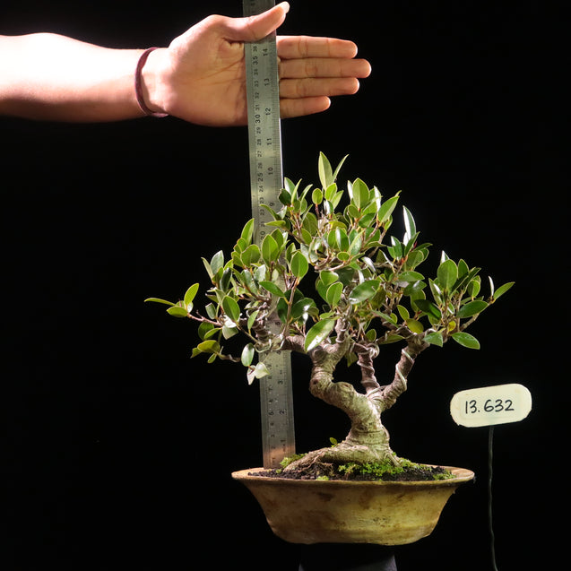 Bonsai Ficus Microcarpa 13.632