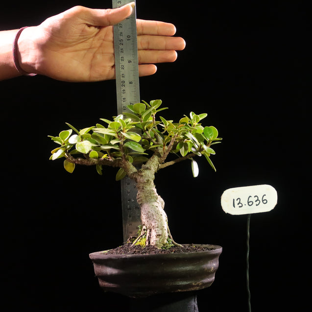 Bonsai Ficus MIcrocarpa 13.636 - kebunbibit