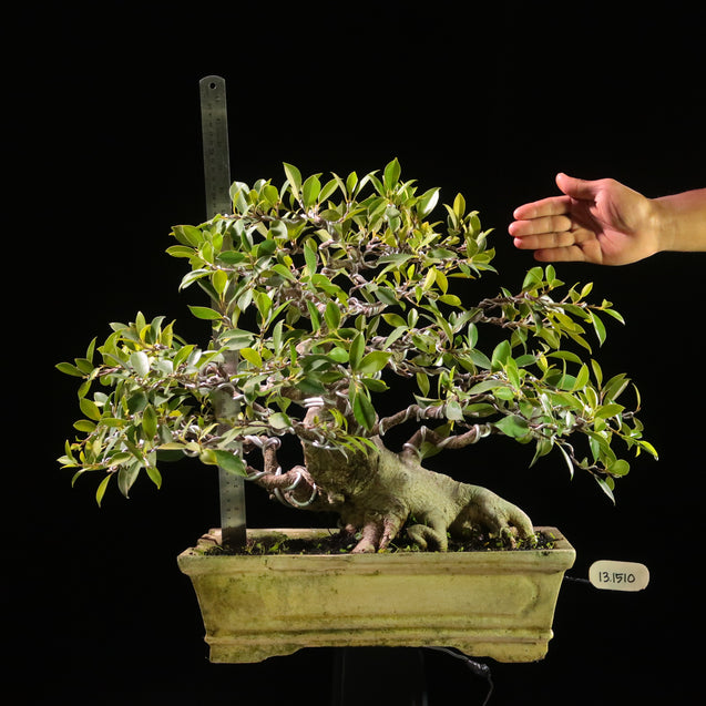 Bonsai Ficus Microcarpa 13.1510 - kebunbibit