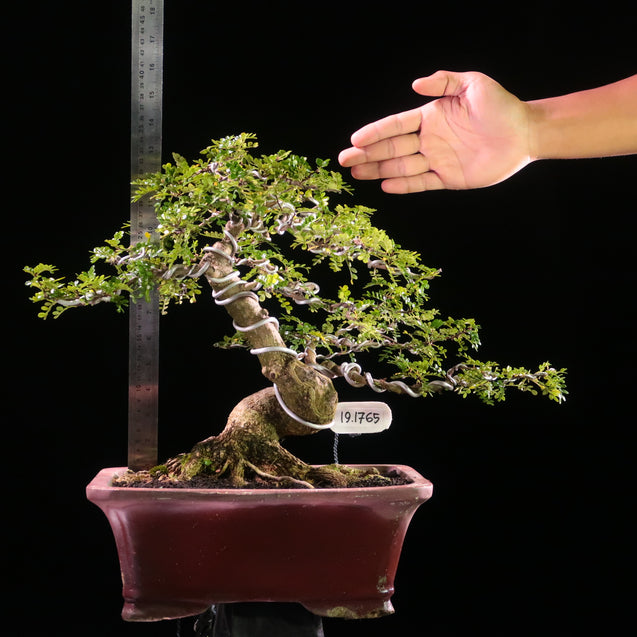 Bonsai Zanthoxyllum Piperitium 19.1765 - kebunbibit