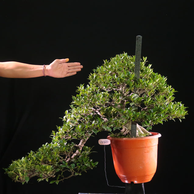 Bonsai Ficus Microcarpa 13.920 EXTRA LARGE