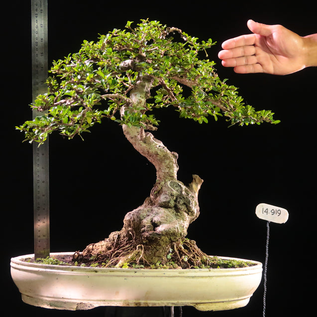 Bonsai Carmona Microphylla 14.919 - kebunbibit