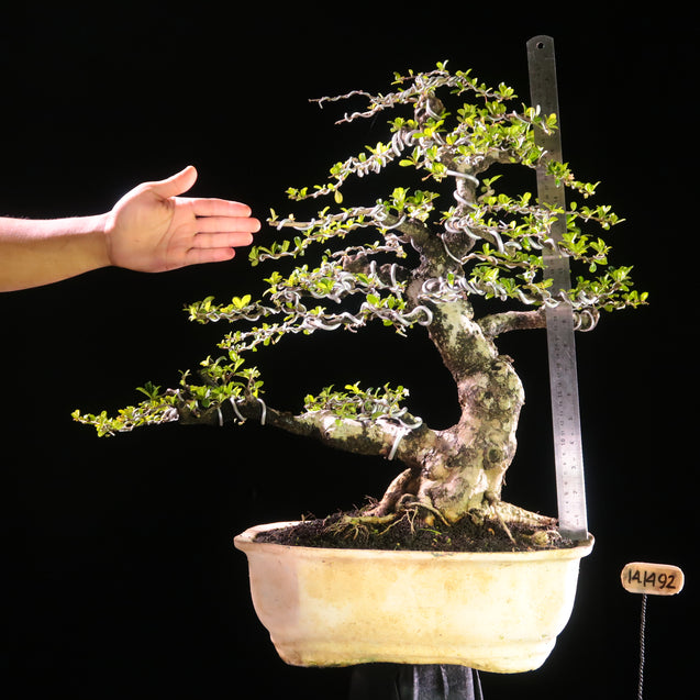 Bonsai Carmona Microphylla 14.1492 - kebunbibit