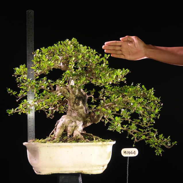 Bonsai Carmona Microphylla 14.1964 - kebunbibit