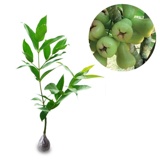 Syzygium Aqueum (Madu Deli Water Apple) - kebunbibit