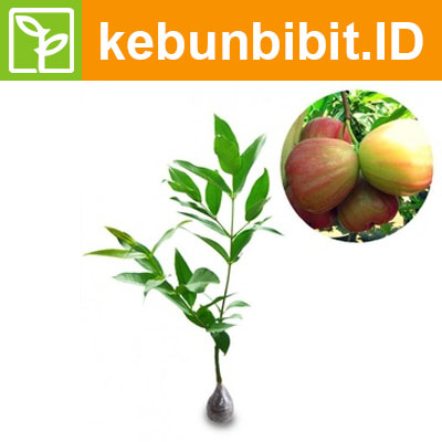 Syzygium Aqueum (King Rose Water Apple) - kebunbibit
