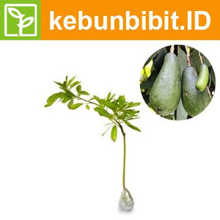 Persea Americana (Alligator Pear) - kebunbibit
