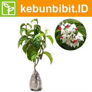 Clerodendrum Thomsoniae (Bagflower) - kebunbibit