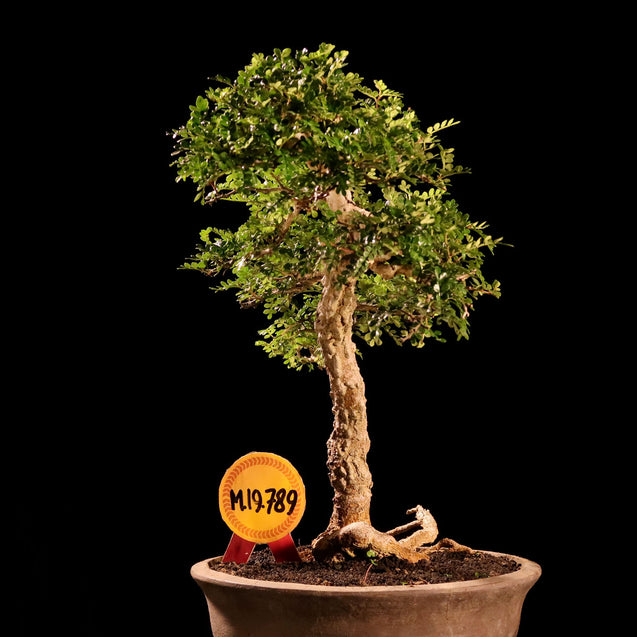 Bonsai Zanthoxyllum Piperitium M.19.789 - kebunbibit