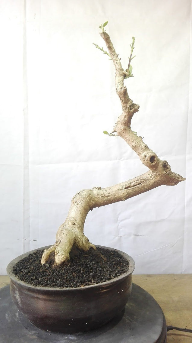 Bonsai Premna Microphyla M.16.754 - kebunbibit