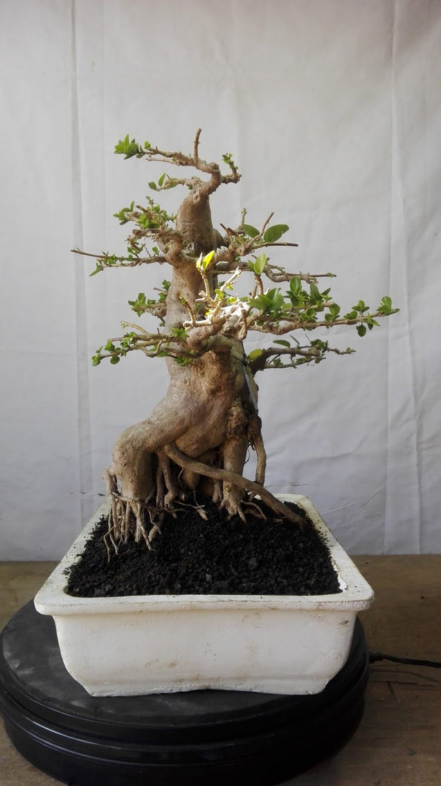 Bonsai Premna Microphyla M.16.756 - kebunbibit