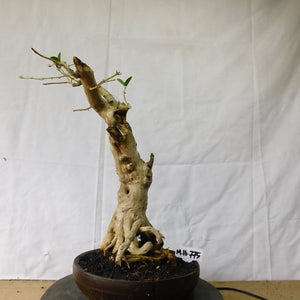 Bonsai Premna Microphyla M.16.775 - kebunbibit
