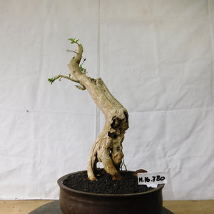 Bonsai Premna Microphyla M.16.780 - kebunbibit