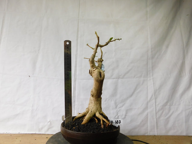 Bonsai Premna Microphyla 16.787 - kebunbibit