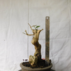 Bonsai Premna Microphyla 16.788 - kebunbibit
