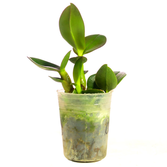 Dendrobium Discolor Orchid Seedling 002