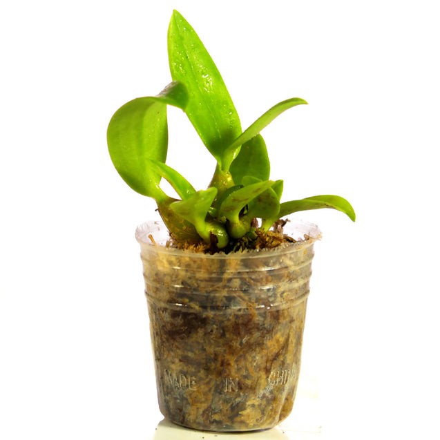 Dendrobium Spectabile Orchid Seedling 002