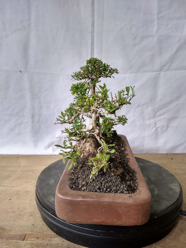 Bonsai Serissa Foetida Triple Trunk 12.743 - bonsaiupdate