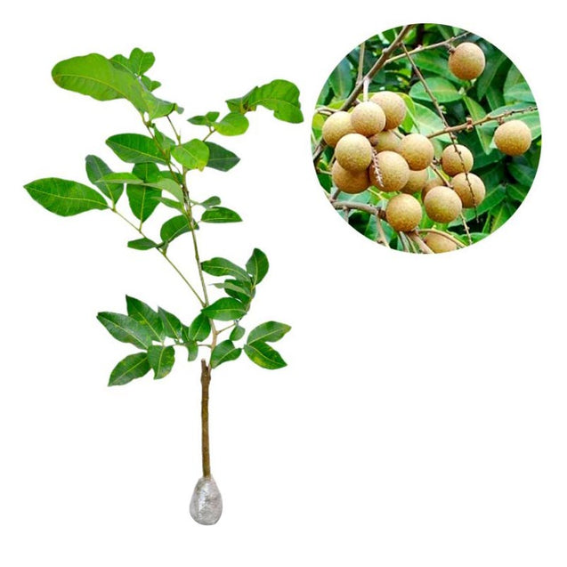 Dimocarpus Longan (Seedlees) - kebunbibit
