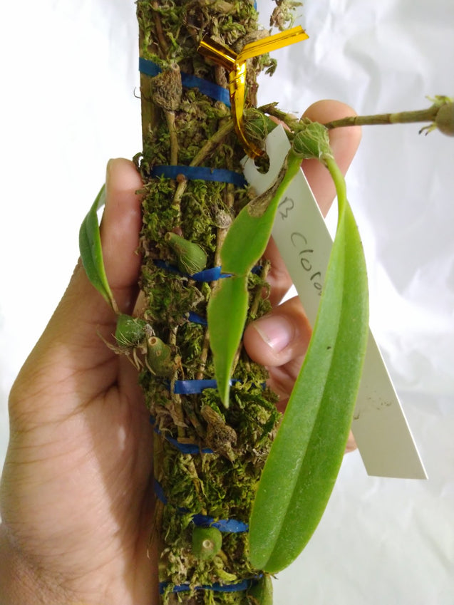 Bulbophyllum Chloranthum Orchid From Papua