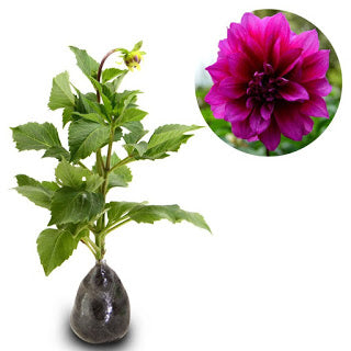 Dahlia Purple - kebunbibit