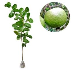 Psidium Guajava (Big White Breadfruit Guava) - kebunbibit