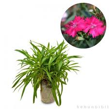 Dianthus Red (Sweet William) - kebunbibit