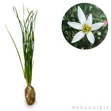 Zephyranthes sp (White Zephyr Lily)