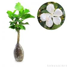 Hibiscus Sp Pure White (Rose Of Sharon) - kebunbibit