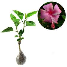 Hibiscus Hawaii Pink (Rose Of Sharon) - kebunbibit