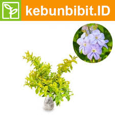 Duranta Repens Golden (Brazilian Sky Flower) - kebunbibit