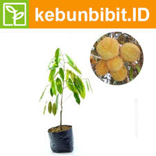 Durio Zibethinus (The Sun) - kebunbibit