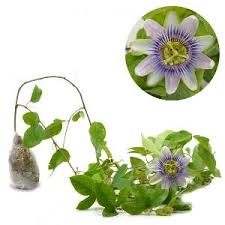 Passiflora Purple Flower (Passion Fruit) - kebunbibit
