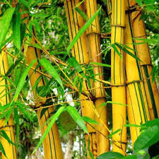 Bambusa vulgaris (Yellow Bamboo Xl) - kebunbibit