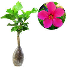 Hibiscus Pink Solid Rosemallows - kebunbibit