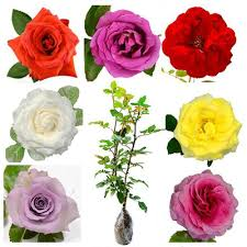 Rosa Sp (Assorted 7 Color Roses) - kebunbibit