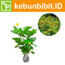 Common daisy (Yellow Daisy) - kebunbibit
