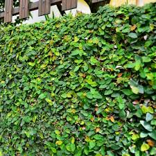 Living Wall Plant - kebunbibit