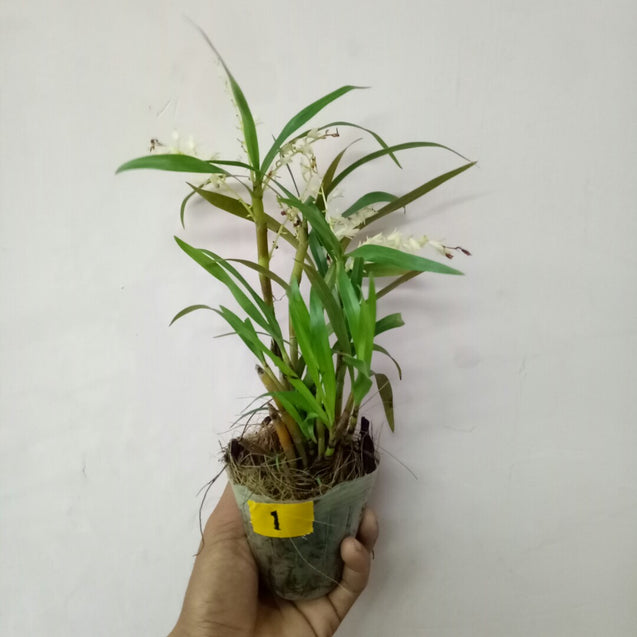 Eria orchid of Papua 01 with fragrant flower