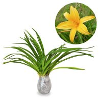 Hemerocallis Fulva Orange - kebunbibit