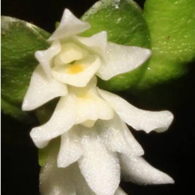 Microsaccus Javensis Orchid From Java
