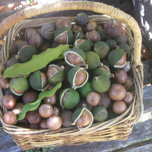 Hot sales! Raw organic Macadamia nuts with shell and Without shell.