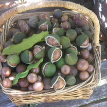 Load image into Gallery viewer, Hot sales! Raw organic Macadamia nuts with shell and Without shell.