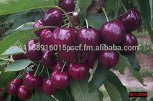 Load image into Gallery viewer, Premium Tasmanian Cherries Australia