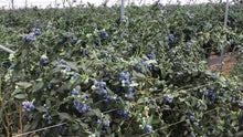Load image into Gallery viewer, Australia Fresh Blueberries Common