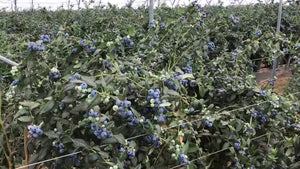 Australia Fresh Blueberries Common