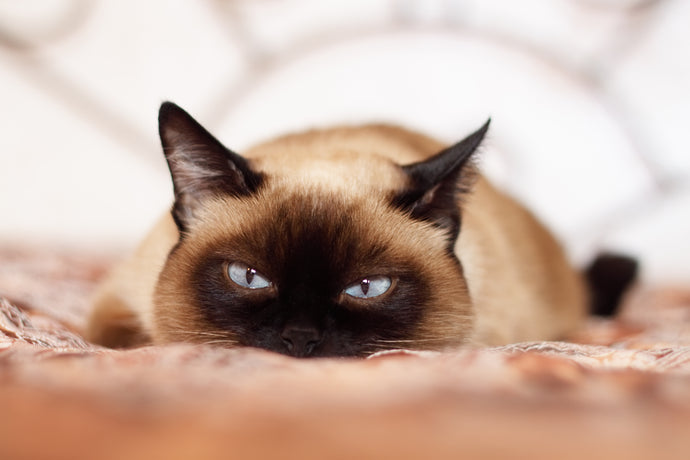 14 Fascinating Facts About Siamese Cats