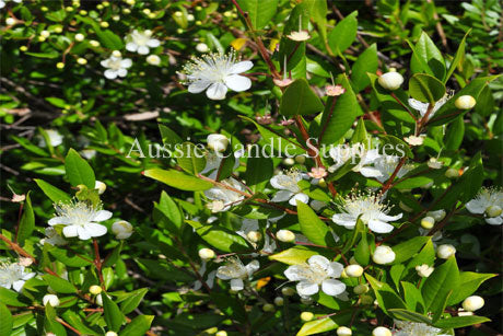 Lemon Myrtle Fragrance